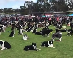576 Border Collies Show Up To The Same Australian Park To Break World Record