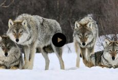 They Released 14 Wolves In A Park. But No One Was Prepared For This. Unbelievable That Nature..
