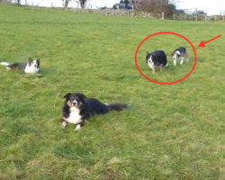 Border Collie Attempts The Most EPIC Attack On His Brother. At 1:35, I Laughed Out Loud! HILARIOUS!