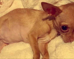 Tiny Chihuahua Lived Most Of Her Life In Complete Darkness – Until Her Rescue Mom Shows Up