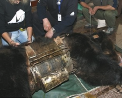 Bear Trapped For Years In 'Torture Vest' Now Spends Her Days Swimming