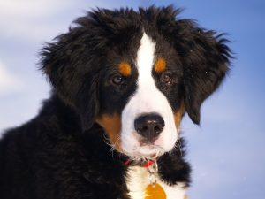 bernese-mountain-dog-67266_960_720
