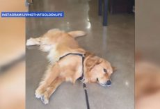 Golden Retriever Refuses to Leave Pet Store in Hilarious Video