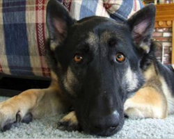 10 Statements That Only True German Shepherd Dog Owners Will Understand