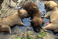 3 Puppies trapped in pool of tar unable to move – then some heroes find them and act quickly