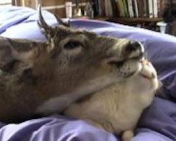 They Adopted Orphaned Baby Deer But Did Not Expect He Would Love Cat So Much!