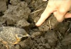 Baby Robin Approaches Farmer For Help – Then It Dawned On When She Grabbed A Hold Of His Hand.