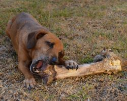 FDA Warns Dog Owners to Avoid Bone Treats After 15 Dogs Die