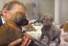 This Dog And Cheetah Met As Babies. Two Years Later, They Still Haven't Left Each Other's Side!