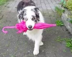 Australian Shepherd Dog Dancing With Umbrella Is Utterly Adorable