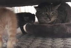 Grumpy Old Feral Cat Meets Tiny Kittens And His Reaction Is Heartmelting