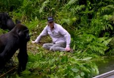 Man Visits Wild Gorillas He Raised As Babies, But Watch As He Introduces His Wife For 1st Time