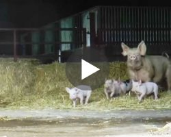 Mother Pig And Her Piglets Go Outside For Very First Time After Rescued From Slaughter! FREEDOM!