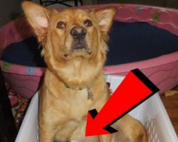 Rescued Mama Dog Goes Into Labor…Her New Owners Are Blown Away By The Strangest Litter Ever!
