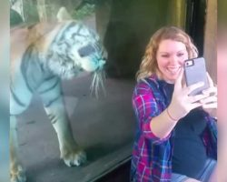Pregnant Woman Sits Next To Tiger – His Reaction When He Notices Her Baby Bump Has Gone Viral