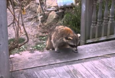 "Woman Gives Food to Blind Raccoon, Then Hits Records When He Brings His 2 Tiny ""Bodyguards"""