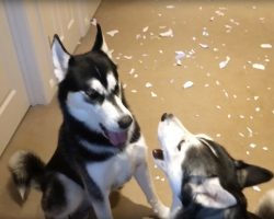 The 2 Huskies get in an argument when dad asks about the mess on the floor