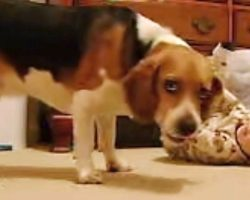 Baby Lies On The Floor – The Moment His Beagle Notices Him For The 1st Time Is Going Viral
