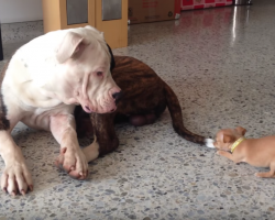 Tiny Chihuahua Picks A Fight He Can't Win, But Big Brother Is The Gentlest Giant