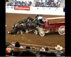 Clydesdale horses take a tumble during the show, but what follows is nothing short of amazing