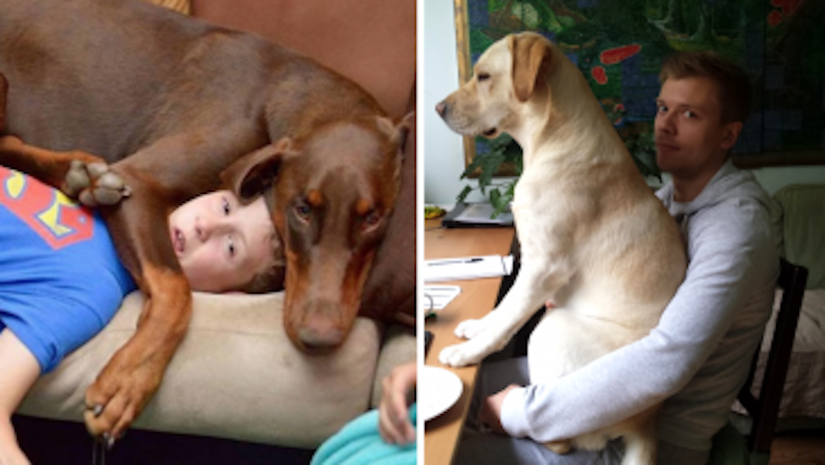 19 times needy dogs failed to understand the concept of personal space - Dogs for small spaces concept ...
