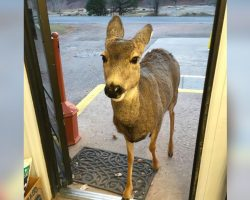 Deer Visits Gift Shop – Then Returns With An Adorable Surprise