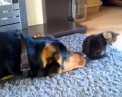 Dog does everything to be friends with this cat– but now watch his final tactic