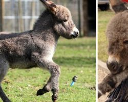 Farmers Young Donkey, Elvis, Went Missing, Where He Found The Hilarious Little Mule Had Him In Stitches