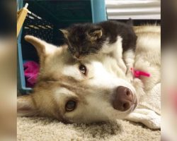 Family Introduces Dying Kitten To Husky – Husky's Response To Meeting Her Is Going Viral