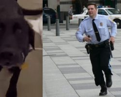 Frantic Labrador Begs Cop To Follow Him…Seconds Later, Both Are Instant Heroes!