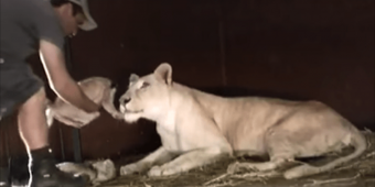 Mom Lioness Just Gave Birth To A Cute Lion Cub. Then This Man Tries To Pick The Little Cub Up