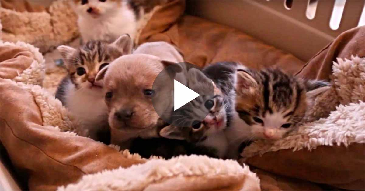 They Put A Newborn Puppy With A Bunch Of Kittens When Mama Cat Sees The Intruder Her Reaction Priceless