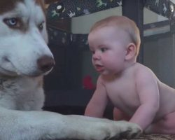 Baby Sneaks Up To Serious Husky – Husky's Comeback Is Quickly Going Viral