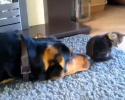 Dog Tries Everything Possible To Befriend Cat, Gives It One Final Go