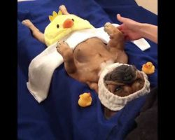 Watch This Hilarious French Bulldog Enjoy Her Spa Treatment…