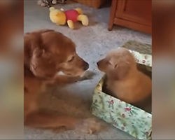 Lonely 12-Yr-Old Golden Gets Fluffy Gift & His Reaction Will Give You The Feels
