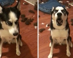 Naughty Husky Can't Handle Mom's Lecture, Drowns Her Out With Hysterical Tantrum