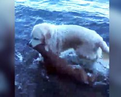 Hero Dog Emerges From Water With Something In Her Mouth…Owner Looks Close And Gasps!