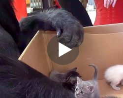 Gorilla Receives a Box of Kittens for her birthday. His Next Move Left Me Absolutely Breathless