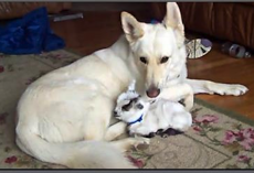 Baby Goat Thinks German Shepherd Is Her Mama