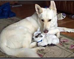 Baby Goat Thinks German Shepherd Is Her Mama