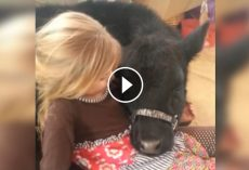 5-Year-Old Fails Miserably At Explaining To Mom Why There's A Cow In The House