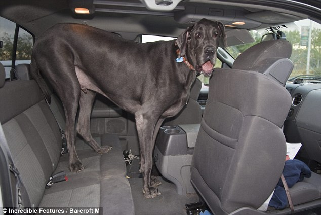 With size comes problems: George the giant barely fits in the back of his owner's SUV