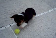 Butler the Corgi Puppy Sees A Ball For The First Time!