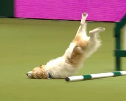 Happy-Go-Lucky Terrier Does Crufts Agility Course His Own Way