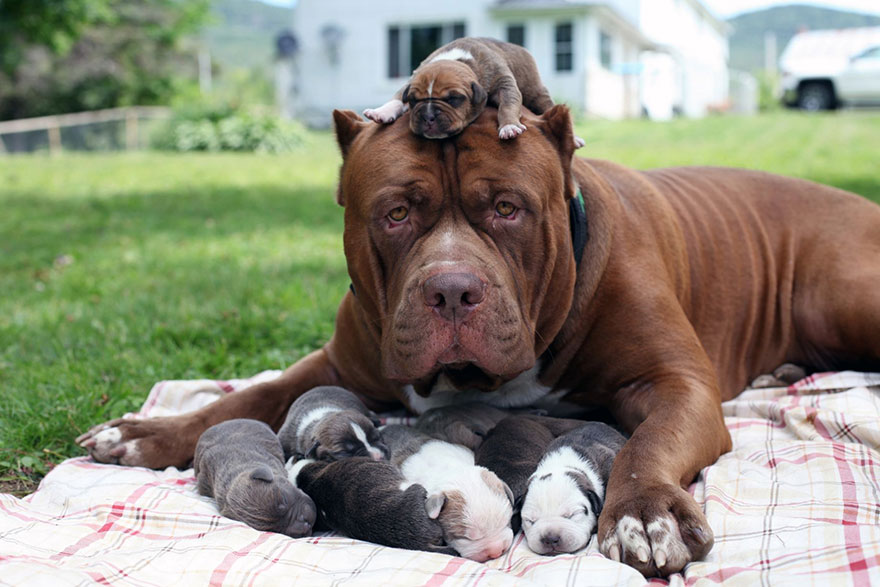 hulk-pitbull-largest-puppies-11