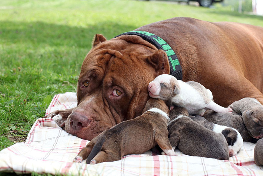 hulk-pitbull-largest-puppies-2