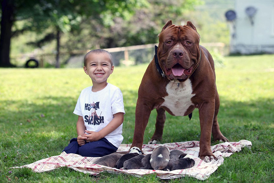 hulk-pitbull-largest-puppies-6