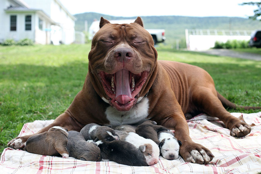 hulk-pitbull-largest-puppies-9