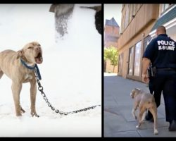Pit Bull chained up in snow cries for help and then a police officer gives her the chance of a lifetime